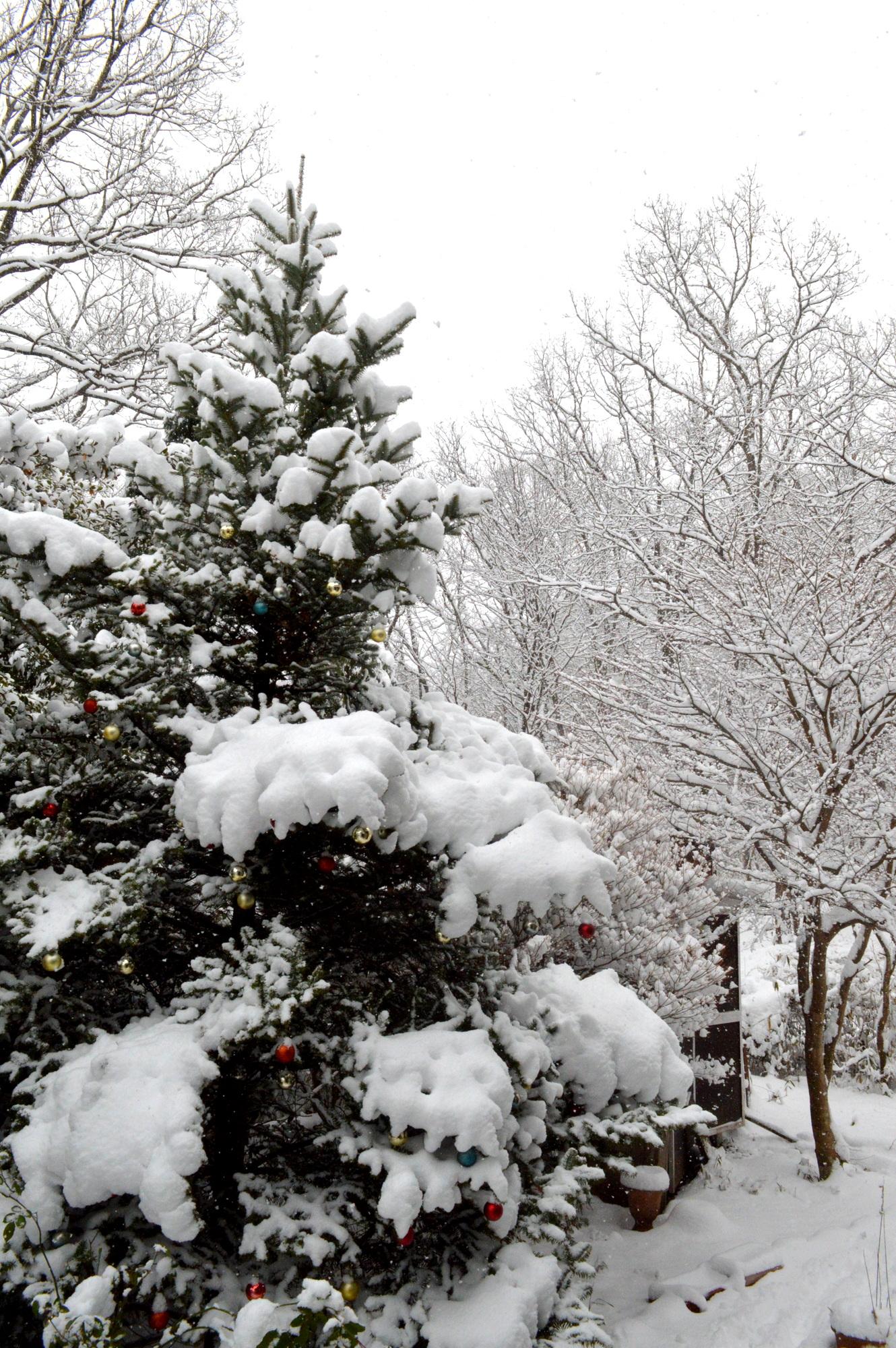 那須高原の樅の木にも降雪が