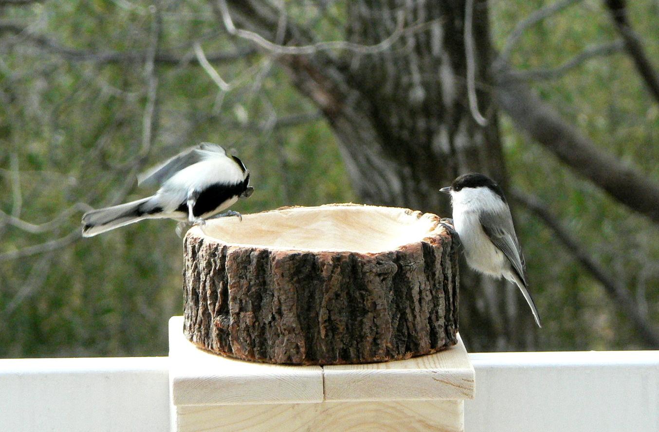 野鳥コガラ2