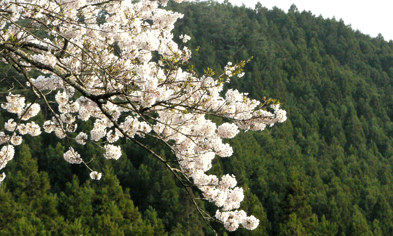 芦野の里御殿山の桜