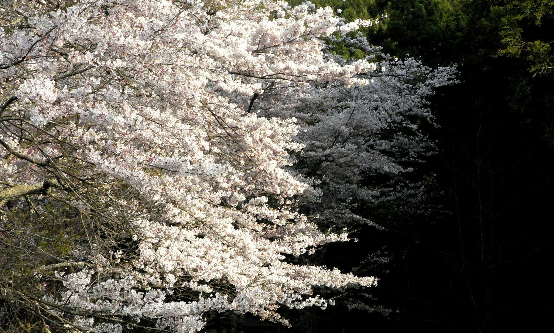 芦野の里御殿山の桜はソメイヨシノが主流