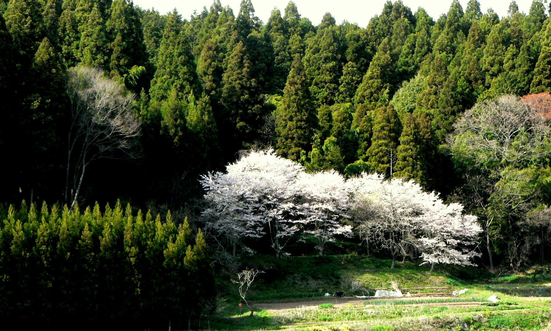 芦野の里の桜が美しい
