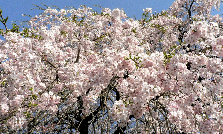 芦野の里平久江家のしだれ桜