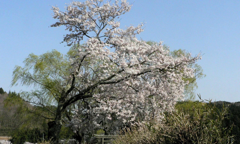 芦野の里の遊行柳の桜