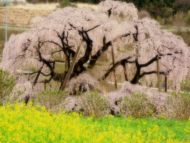 三春の滝桜 菜の花畑とのコラボ