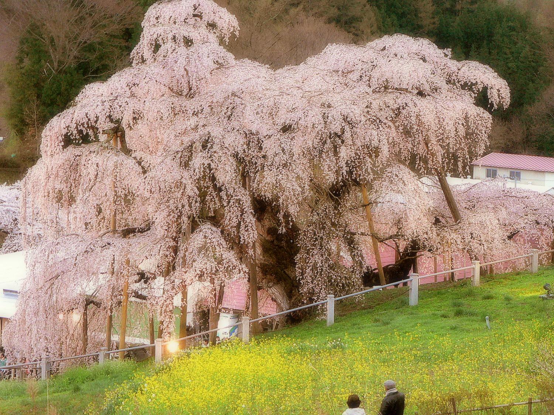 三春の滝桜 大きさと花びらが美しい