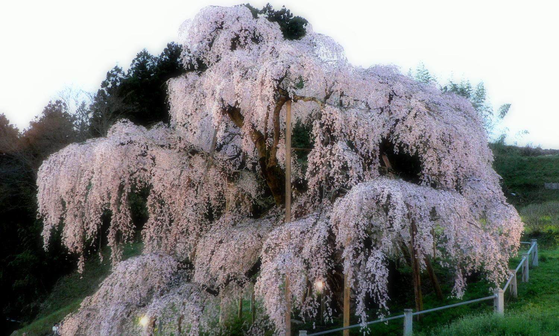 三春の滝桜に夕刻になると少しずつライトの色がついてきます
