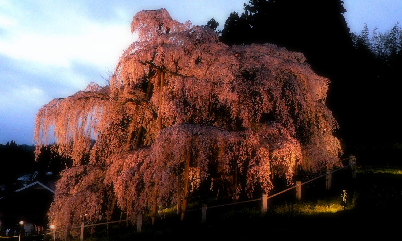 三春の滝桜 陽が沈み桜のライトショーの始まり