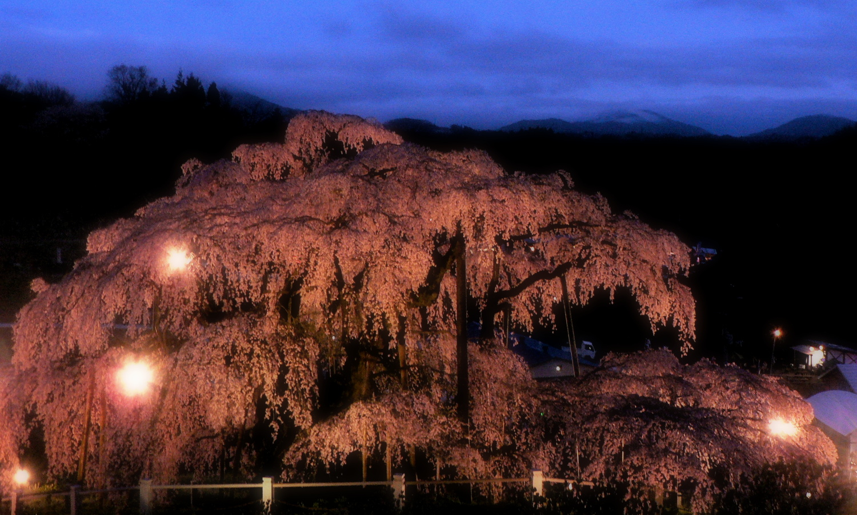 三春の滝桜は山間深くの里に咲いています