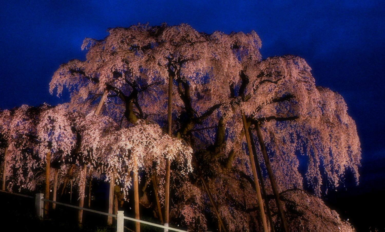 三春の滝桜は様々な表情を見せる