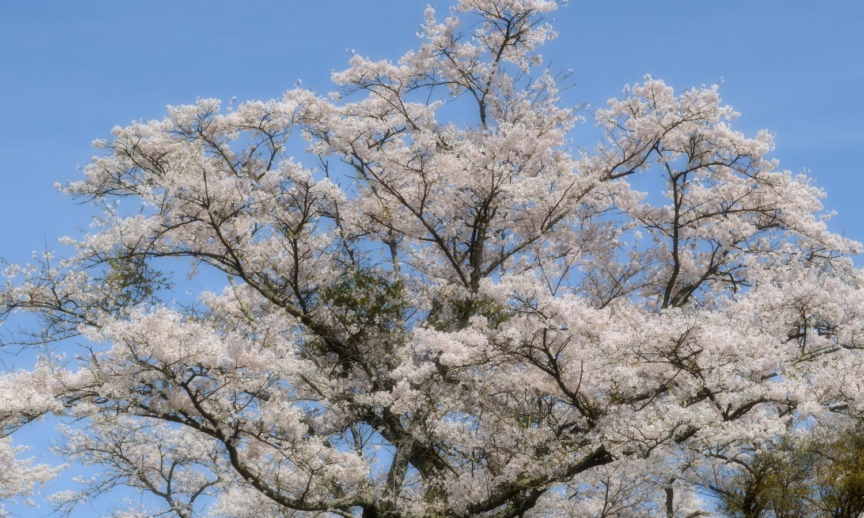 さくら市喜連川の早乙女桜並木は100年近い今も元気に咲き誇っています