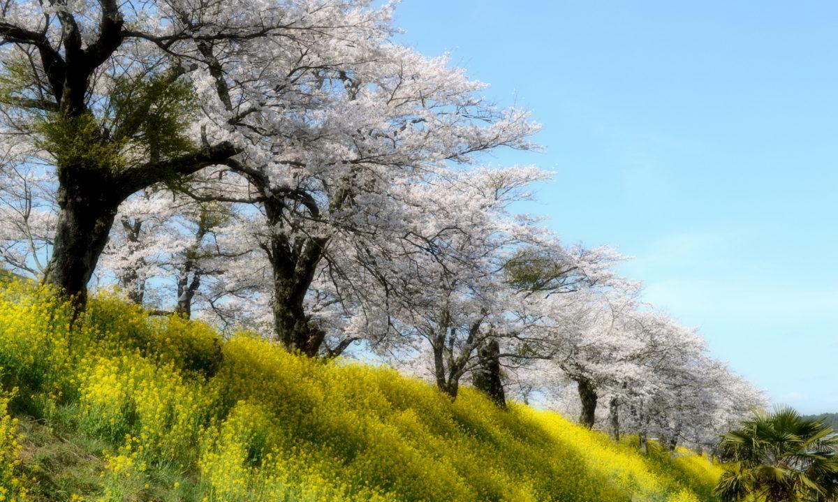 さくら市喜連川の早乙女桜並木は菜の花が満開