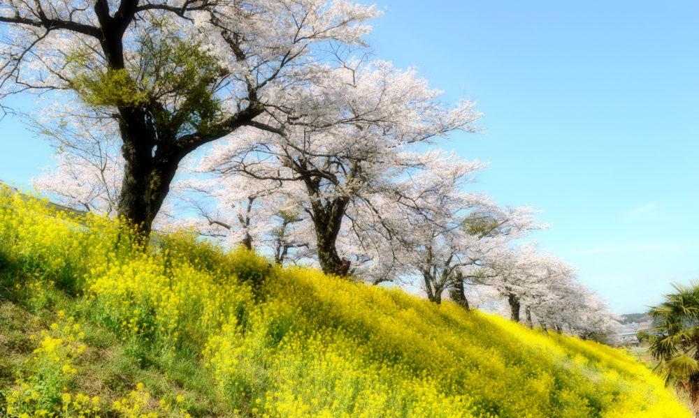 さくら市喜連川の早乙女桜並木は土手がスポットです