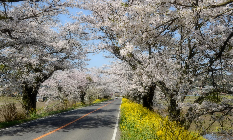 さくら市喜連川の早乙女桜並木は500mの桜トンネル