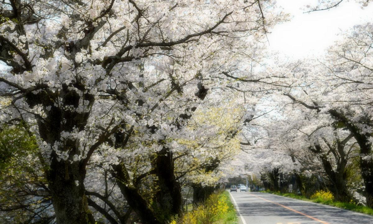 さくら市喜連川の早乙女桜並木は県道沿い