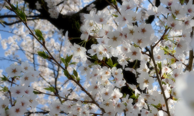 さくら市喜連川の早乙女桜並木は老木のソメイヨシノ