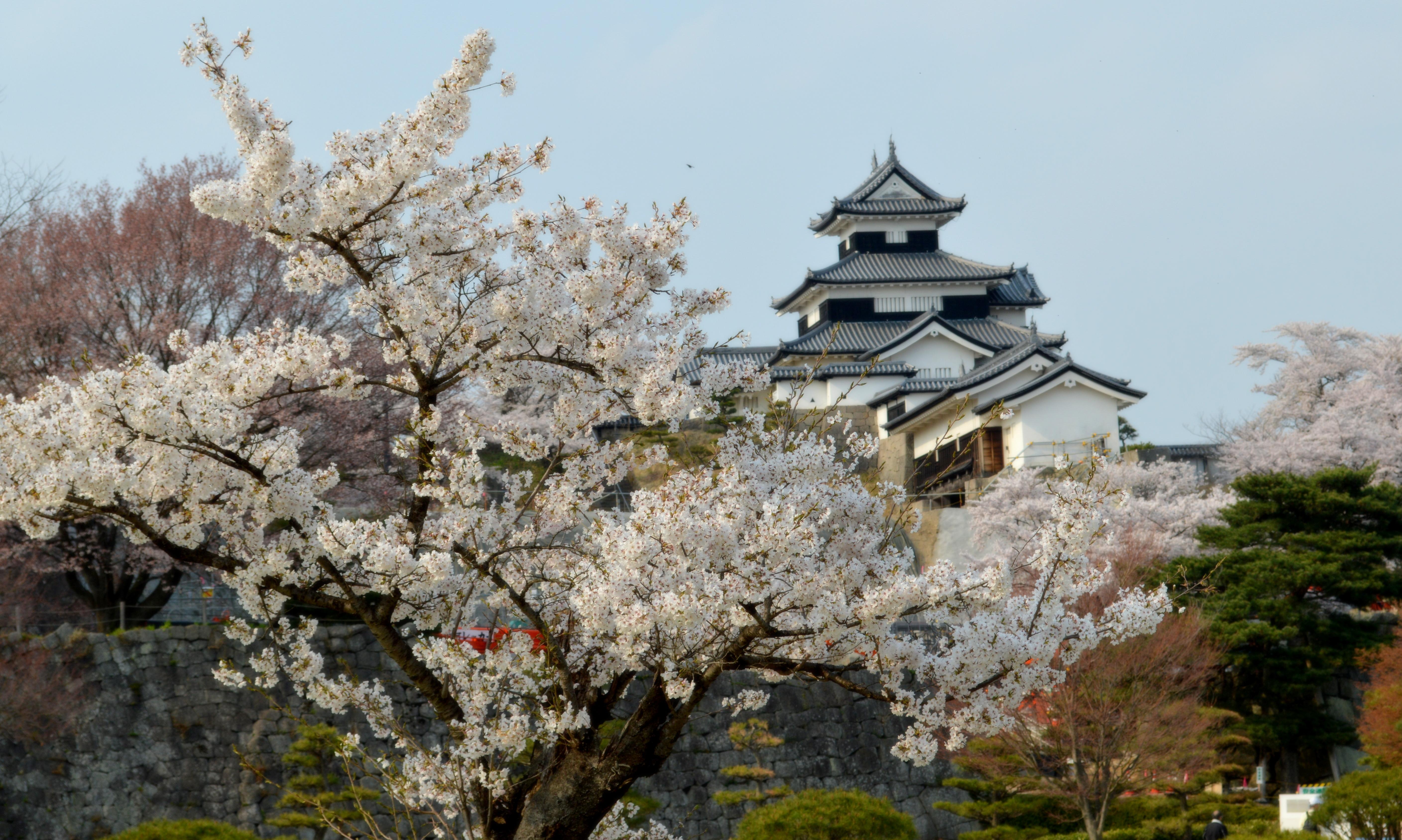 白河市小峰城の修復中の桜