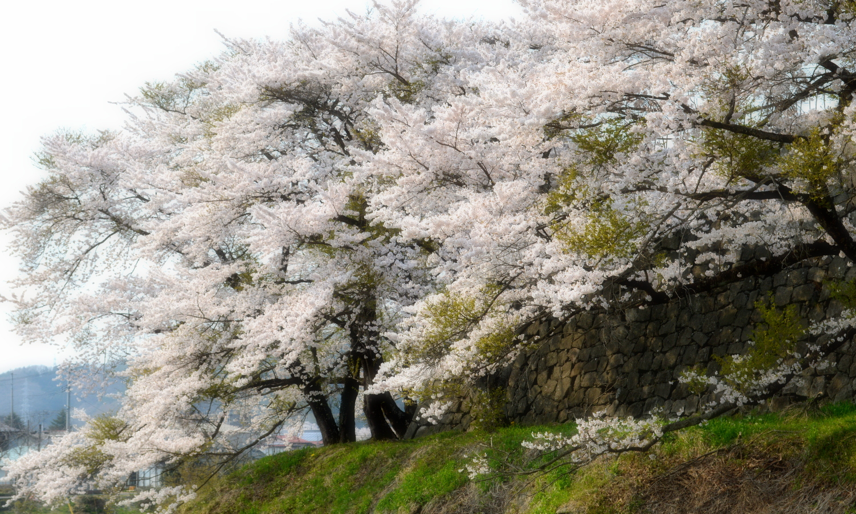 白河小峰城の桜4