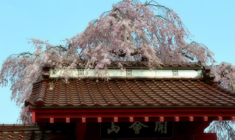 白河市妙関寺の乙姫桜