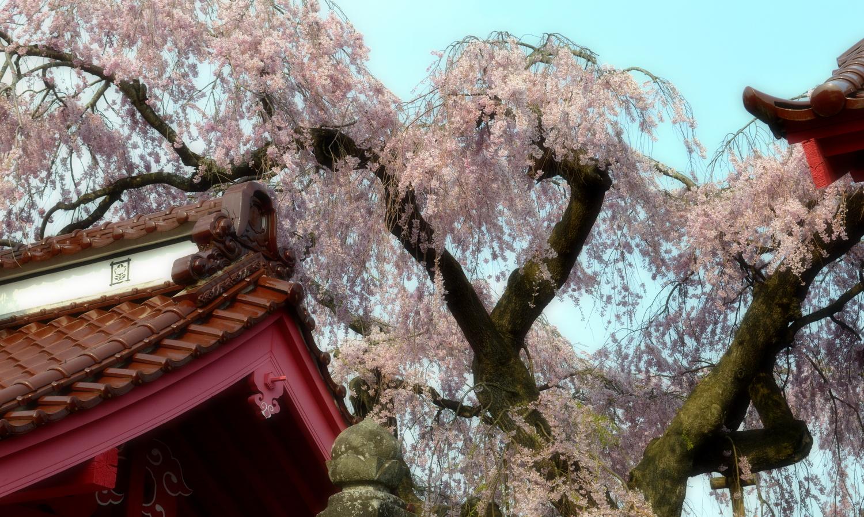 白河市妙関寺の乙姫桜4
