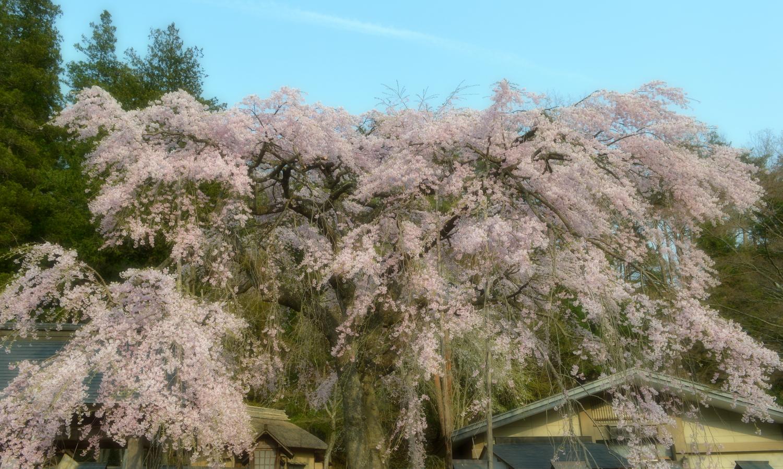 白河市南湖神社の楽翁桜