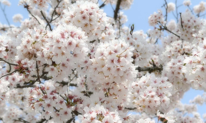 会津若松鶴ヶ城の桜