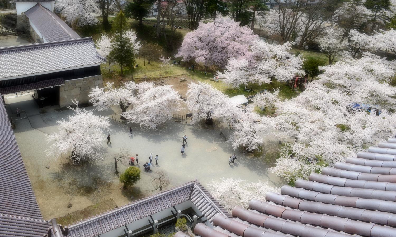 会津若松鶴ヶ城内は1000本の桜が咲き乱れる