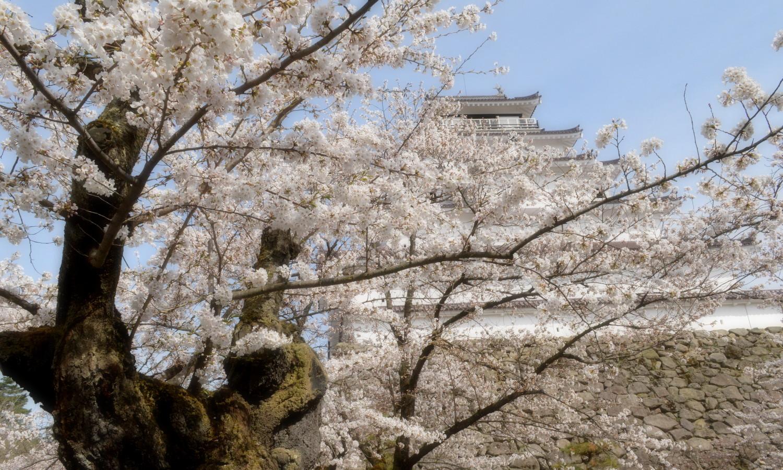 会津若松鶴ヶ城の老木の桜が似合う天守閣