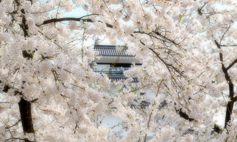 会津若松鶴ヶ城の天守閣は桜で見えなくなることも