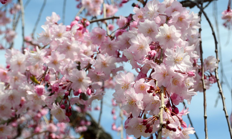 喜多方市しだれ桜並木道のピンクの花たち