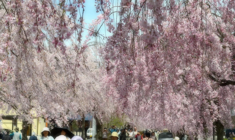 喜多方市しだれ桜並木道の頭上に降りそそぐ枝垂桜