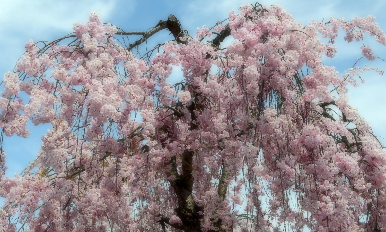 喜多方市しだれ桜並木道の形のいい枝垂桜