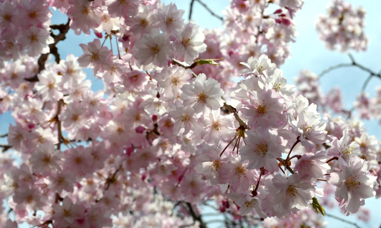 喜多方市しだれ桜並木道のきれいな花花