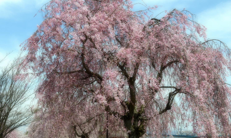 喜多方市の老木の見事なしだれ桜