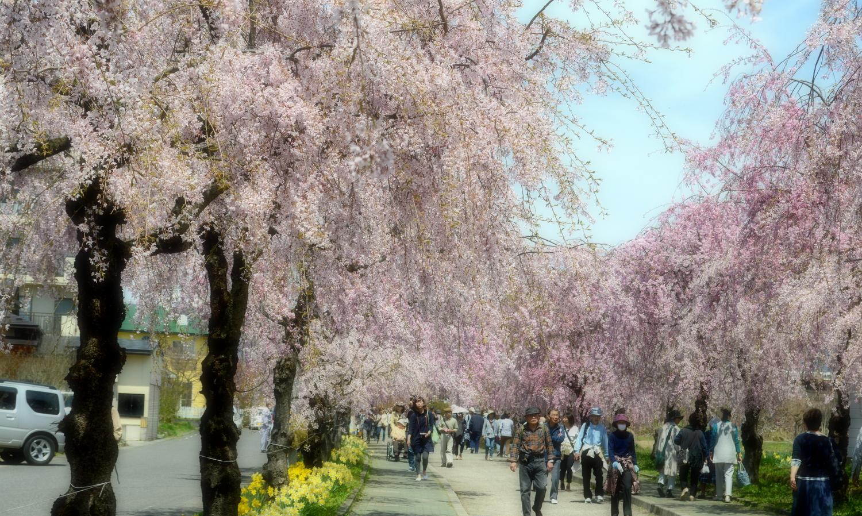 喜多方市しだれ桜並木道は枝垂れ桜が満開
