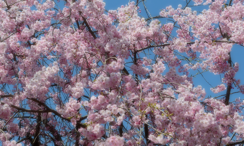 喜多方市しだれ桜並木道