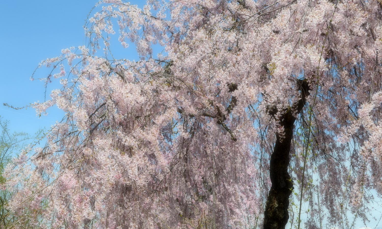 喜多方市の美しいしだれ桜並木道