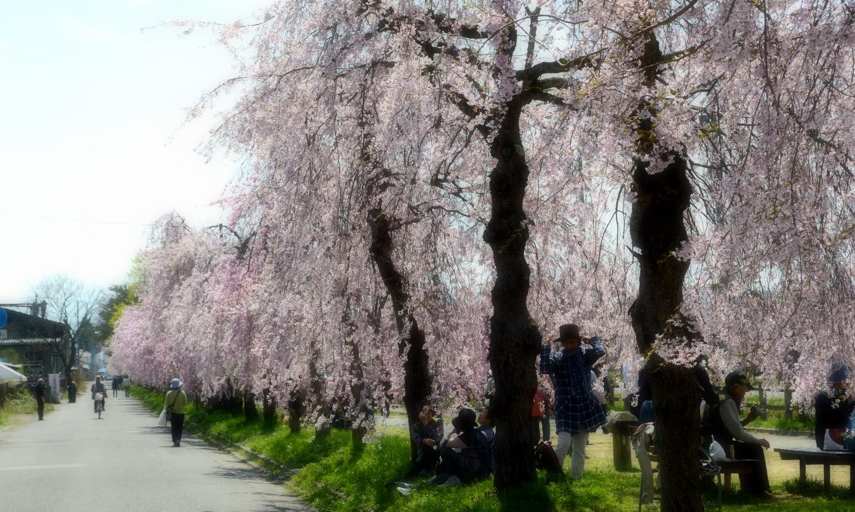 喜多方市の枝垂れ桜が続く日中線並木道