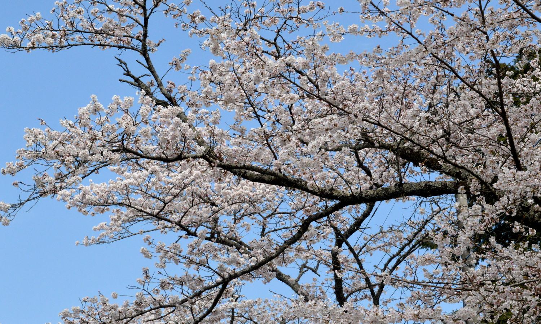 大田原市黒羽大宿街道の満開の桜