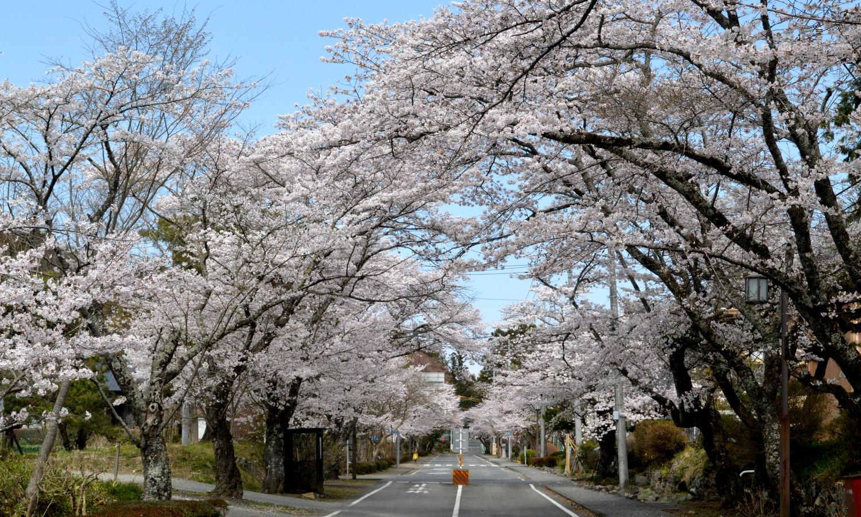 大田原市黒羽大宿街道の桜並木