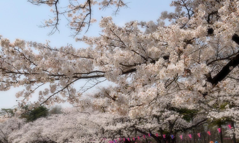 桜の満開が美しい黒磯公園