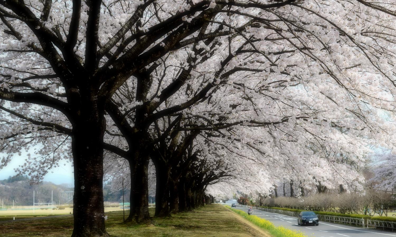 整然とした美しさを見せる那珂川河川敷公園の桜並木