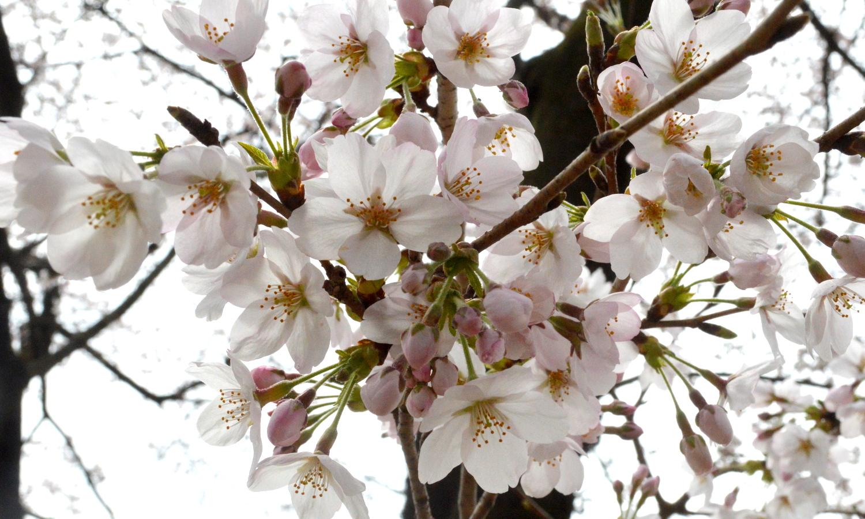咲き誇るソメイヨシノ
