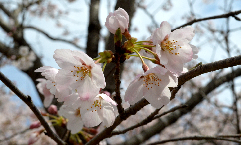 大田原龍城公園の桜