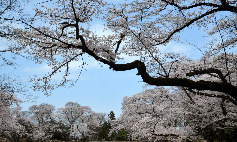 大田原龍城公園のソメイヨシノは7分咲き