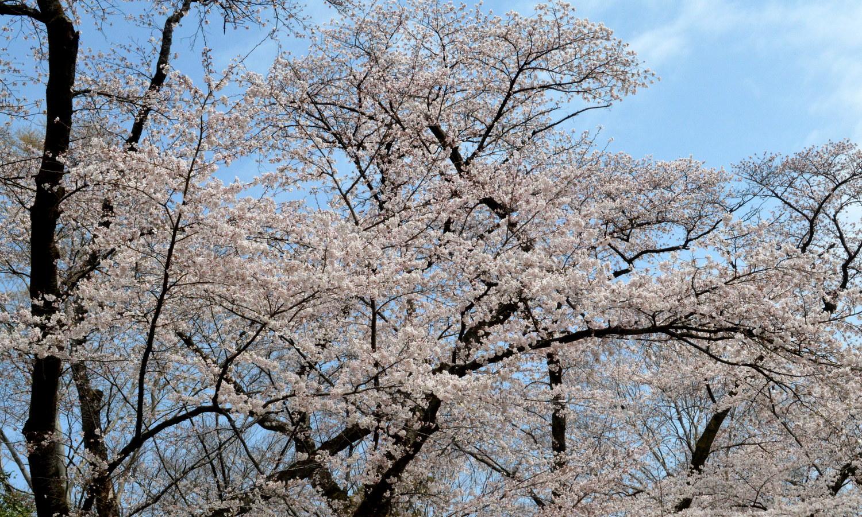 大田原龍城公園のソメイヨシノの老木