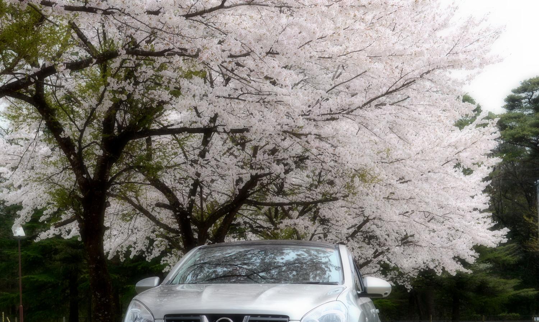 車とのコラボが美しい千本松牧場の桜並木