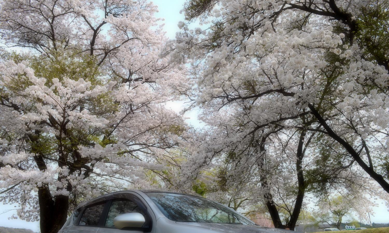車の上に覆いかぶさる桜たち那珂川河川敷公園