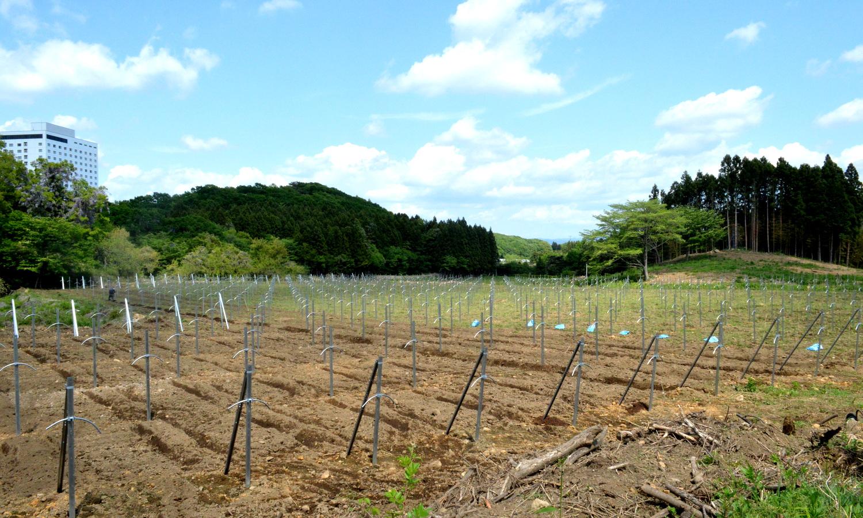 苗植えが進む那須高原661ワイナリー