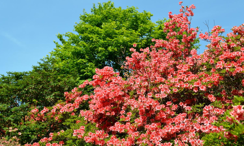 那須高原に咲き誇る八幡のツツジ
