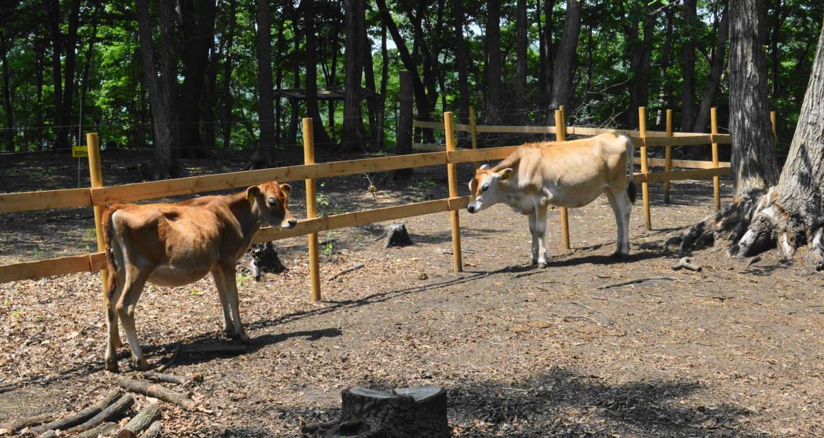 那須森林ノ牧場の放牧されている子牛たち